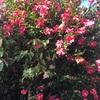 さざんかさざんか咲いた道〜〜「山茶花」簡単なのに知らないと読めない漢字です。(笑)