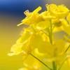 アンズと菜の花