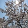 京都の桜が綺麗だった