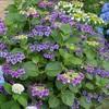 渋田川の紫陽花