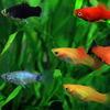 (熱帯魚 生体)ミックスプラティ(雌雄指定、種類指定不可) (約3-3.5cm)(6匹)【水槽/熱帯魚/観賞魚/飼育】【生体】【通販/販売】【アクアリウム/あくありうむ】
