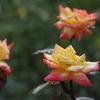 秋のバラ(後編)