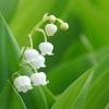 二十四節気 6月6日より芒種。芒(のぎ)のあるイネ科作物の種をまくことからいいます。
