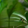 キオビヤドクガエル Dendrobates leucomelas
