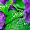 紫陽花と雨垂れ