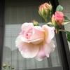 バラ開花と朝ごはん
