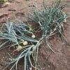 余った苗で育てたタマネギの方が、真面目に栽培したタマネギよりも好結果になりそうな皮肉