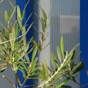 Olive-blog