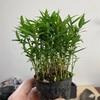 屋久島笹の植え替え