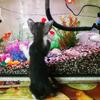 金魚とじゃれる子猫