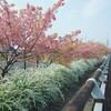 葉桜気味の河津桜を中望遠レンズで撮る