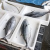 2017年3月9日 小浜漁港 お魚情報