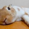 【ミニウサギのサスケ先輩】うさぎの可愛い顔をついに激写に成功!?うさぎの面白い癒し動画を毎週配信中!