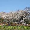 熊本県を代表する桜の木「一心行の大桜」