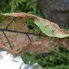 ナスの葉が網目状の穴が開いた感じに・・原因はテントウムシダマシ?