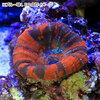 (海水魚 サンゴ)一点物 オーストラリア産 スコリミア スペシャルマルチ CM−8556 北海道・九州航空便要保温