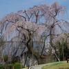 唐木田のしだれ桜