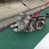 ネコの散歩を発見!