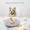 チワワのオーブが16歳の誕生日を迎えました!!