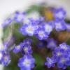 春を告げる雪割草_その2の巻