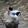 美又川の鴨