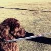 【恐怖期のお散歩対処法!】犬のお散歩デビューは早い方がいい?