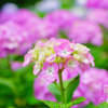 下田公園の紫陽花⑤