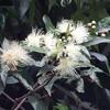 フトモモの花