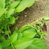 ジャガイモの葉が萎れたら要注意 『黒あざ病』について