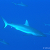 世界の海で出会った魚図鑑【オグロメジロザメ】
