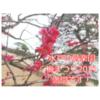 偕楽園の梅祭り2021!!梅満開です(人´∀`*).。:*+