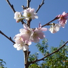 十月桜(後編)