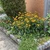 マンション花壇・復活植物