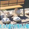 岡山県真庭市・湯原温泉で自由すぎるアヒルを見た