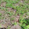 春の楽しい山菜採り|ワラビの採り方、処理方法のメモ