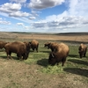 Bison牧場に行って来ました! 農場視察①