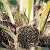 年間2000トンの油ヤシ廃棄樹木から新たな可能性が生まれるかもしれない 〜 日本の研究による新素材で熱帯雨林破壊を防ぐ