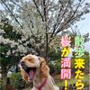 お散歩コースに桜がっ!!