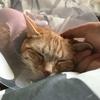 猫の避妊手術後、エリザベスカラーはいつまで着けるべきなのか