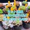 たにログ095 ネットで多肉狩りレビュー SABOTENTAROさん②