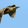 印旛沼の巣近くに着地するサンカノゴイ