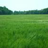 麦が風でなびいているのが清々しい
