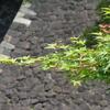 奉祝 御即位一般参賀⑤ 新緑の乾通り 山下通~富士見多聞~蓮池濠~道灌濠