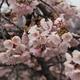 満開の椿寒桜【兼六園・上坂口】