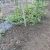 小玉スイカ畝の除草
