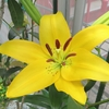 「百合」と「クチナシ」の花が咲き始めたよ!