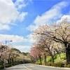 二人で桜並木を見て歩く。妻と。