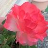 バラの「ノスタルジー」に思いを込めて!