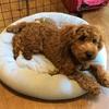 ニトリのひんやりペット用ベッドと犬回虫続報