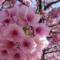 子ども雑学(2月編②) 梅と桜の見分け方&都内で見られる早咲き桜の種類